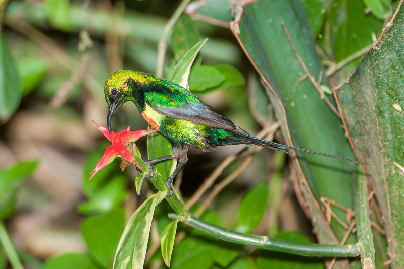 Beautiful Sunbird (Cinnyris pulchella)