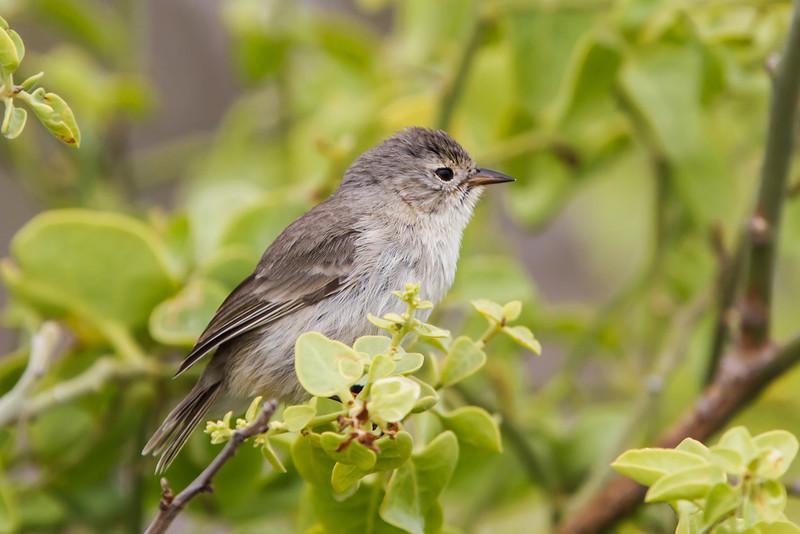 Gray Warbler-Finch at Gardner Bay, Espanola, Galapagos, Ecuador (11-21-2011).CR2 _MG_7597.jpg