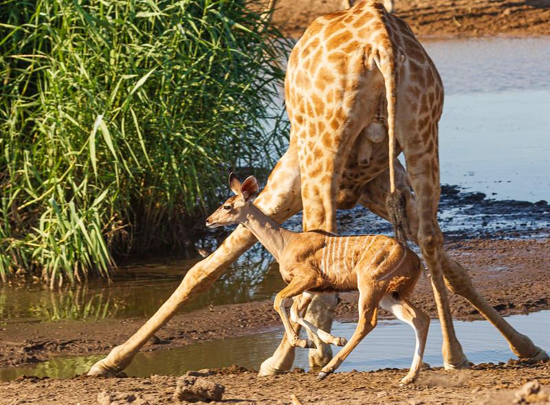 Kudu calf alarm 4