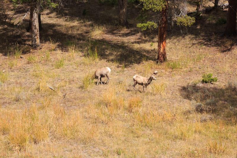 Big Horn Ewes 001