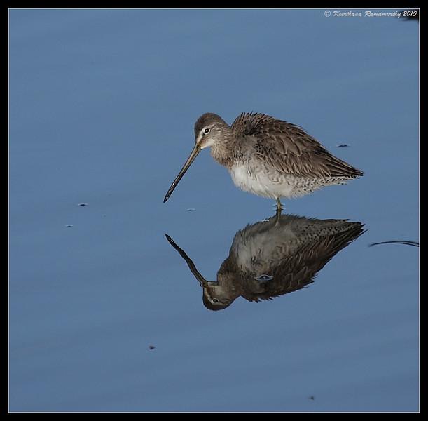 Long-billed Dowitcher, San Elijo Lagoon, San Diego County, California, February 2010