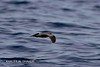Khor Kalba Pelagic, 24.06.2016<br /> © Mark Smiles