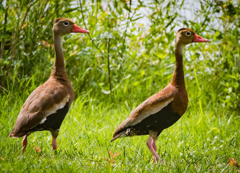Reb bill Ducks 082717-1.jpg