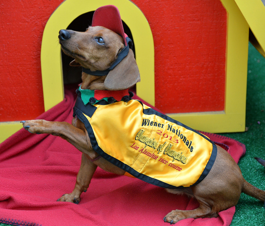 . Rescued Dachshund Bud Black, owned by David and Shawn Black will represent  the West in Weinerschnitzel  Weiner National Finals race Dec. 30th in San Diego.       Photo by: Robert Casillas / Daily Breeze