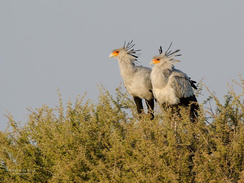 Secretary Bird, Etosha NP, Namibia, July 2011.jpg
