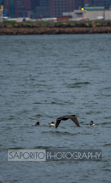 Cormorant with Sea Ducks