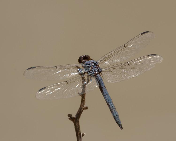 Dragon fly-4.jpg