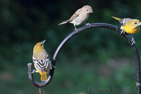 """2017 """"September"""" Yardbirds"""