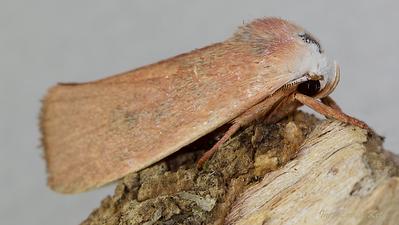 Xyloryctidae