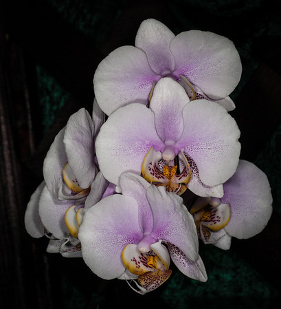 Platinum Coast Orchid Society 51th Annual Orchid Show - May 2, 2014