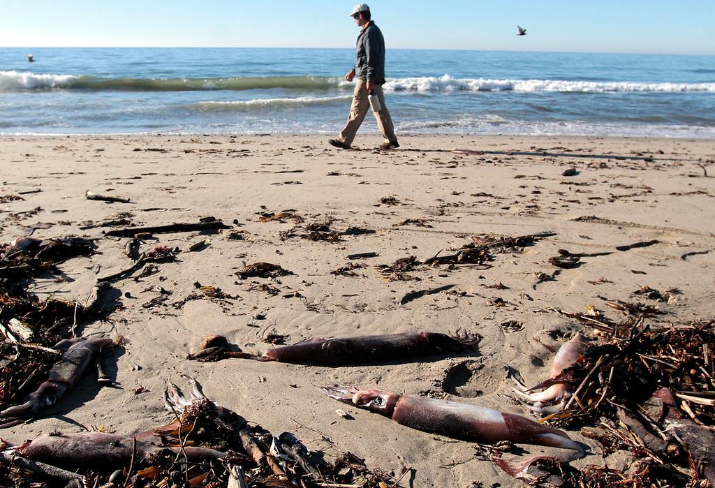 . Thousands of dead Humboldt Squid wash up on Rio Del Mar State Beach near Aptos, in Santa Cruz County California on December 10, 2012. Photo by Shmuel Thaler/Santa Cruz Sentinel