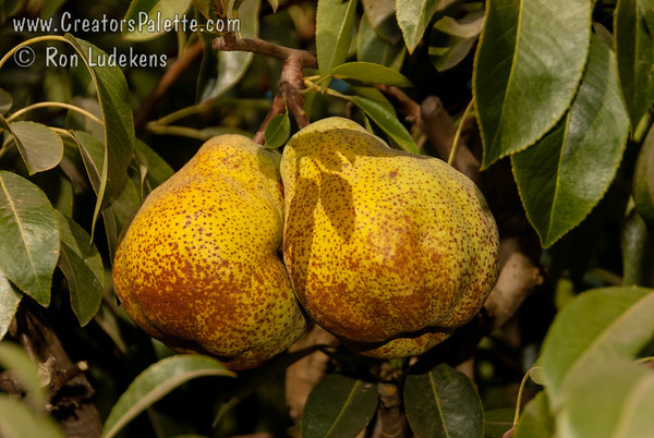 Sugar Pear - Pyrus communis sp.