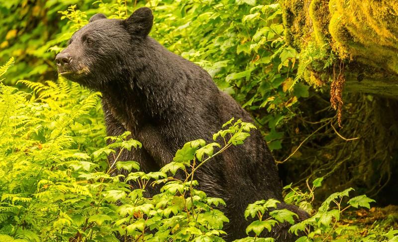 Anan Brown Bear 15.jpg