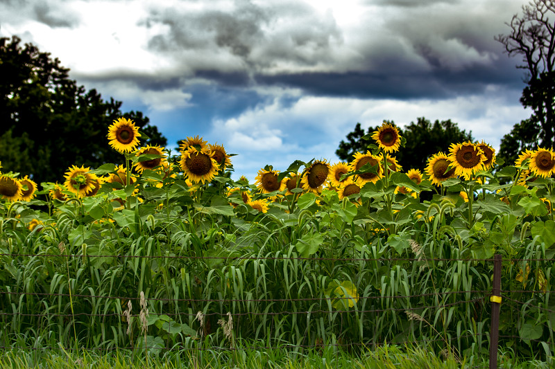 Sunflower Field, Minooka, Illinois