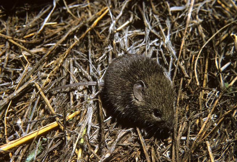 Hispid Cotton Rat (Sigmodon hispidus) Big Bend National Park, TX, 1959
