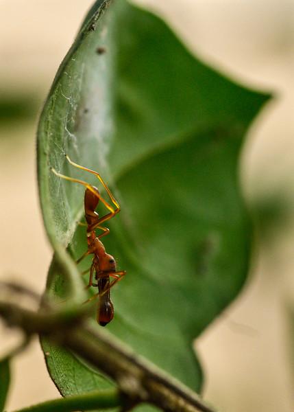Ant-mimic-jumping-spider-nest-2.jpg