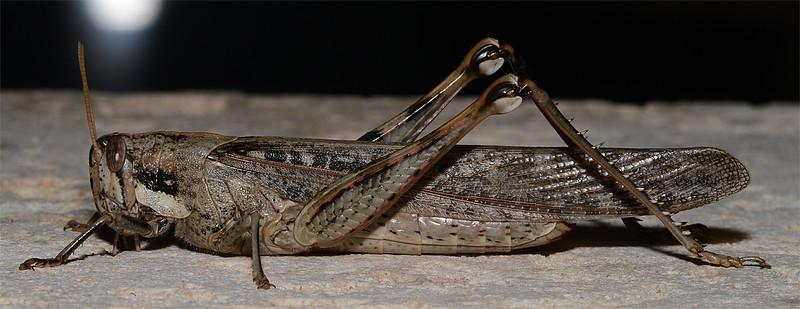 Schistocerca nitens (Gray Bird Grasshopper)