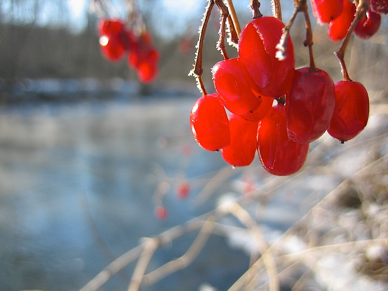 Sunrise over a river with RED berries.