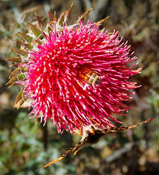 Thistle 2, Uvas Canyon County Park, Morgan Hill, California, 2010