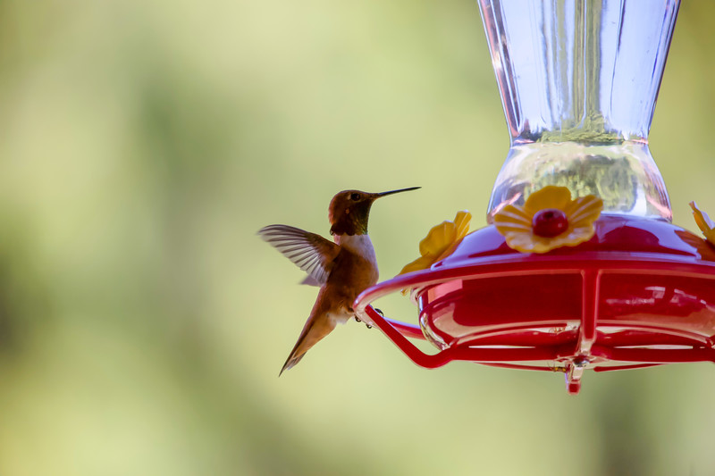 humming bird (28 of 55).jpg