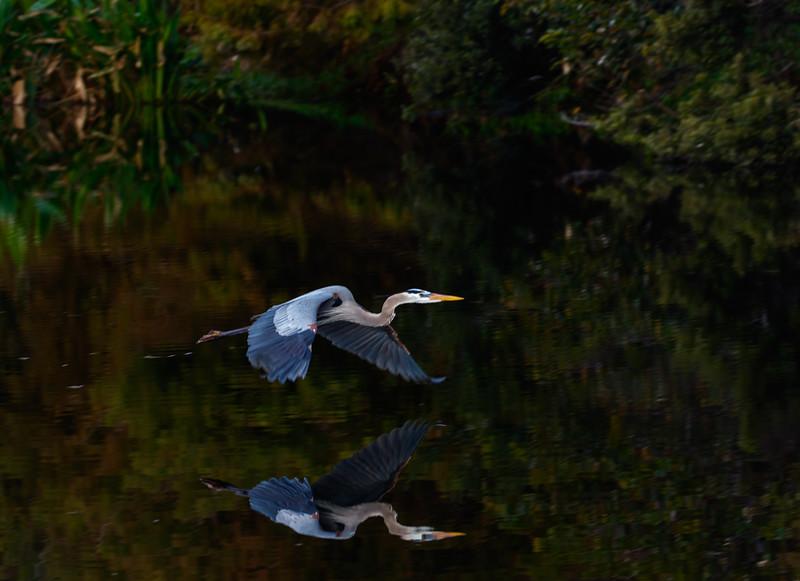 Great Blue Heron-4752.jpg