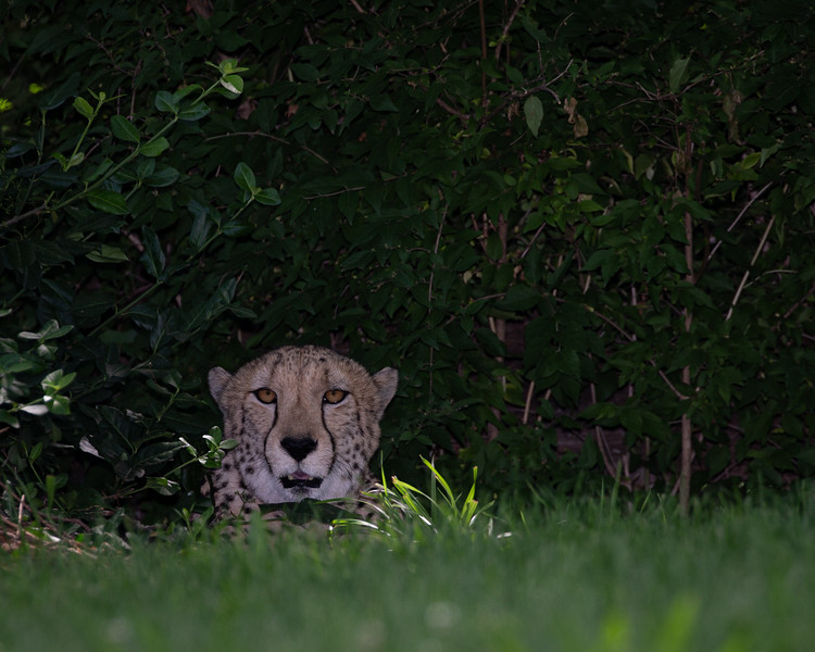 Cheeta Hiding