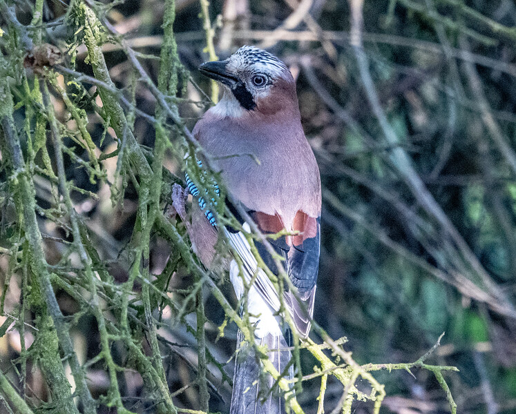 A Jay at Pulborough Brooks-36.jpg