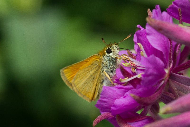A grass skipper (Hesperiidae: Hesperiinae) drinks nectar in Grand Teton National Park in Wyoming.