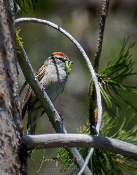 Chipping Sparrow with breakfast