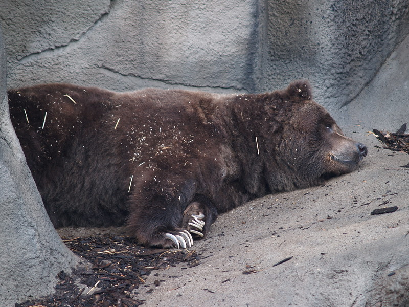 Brown bear...lots of sleeping animals today!! Look at the claws!