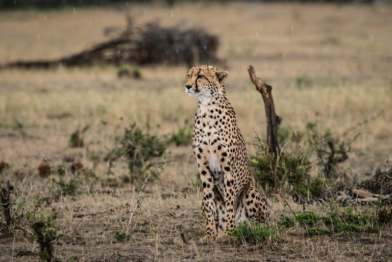 Female Cheetah in the rain