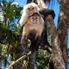 The White Faced Monkeys of Cahuita National Park