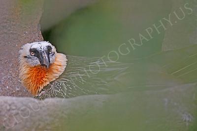 Eurasian Bearded Vulture Wildlife Photography