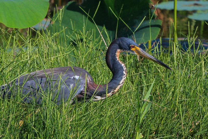 zAnahuac 8-14-14, NEW T3i, 091A, Tri-colored Heron (1 of 1).jpg