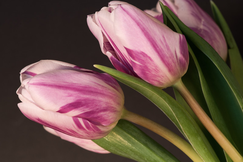 Pink Dutch Tulips