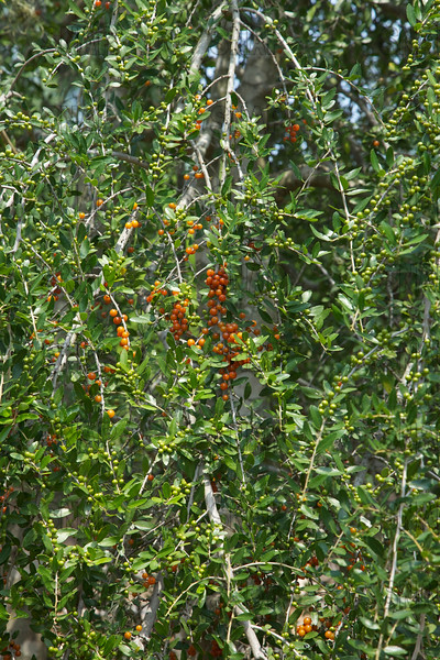 Pyracantha, Firethorn, or Orange Firethorn (Pyracantha sp.), native of Asia; at the Jacksonville Zoo and Gardens.