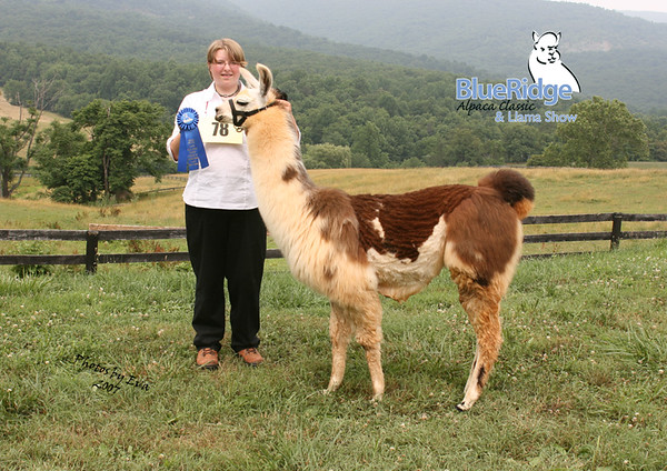 Blue Ridge Llama and Alpaca Show 2007
