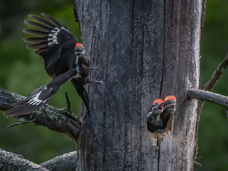 _6005905-Edit Pileated Woodpecker mom takeoff.jpg