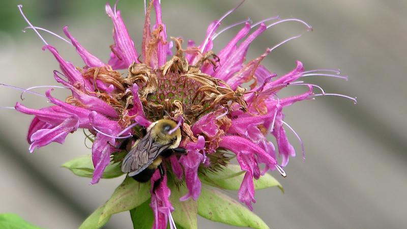 bumblebee_3806.jpg