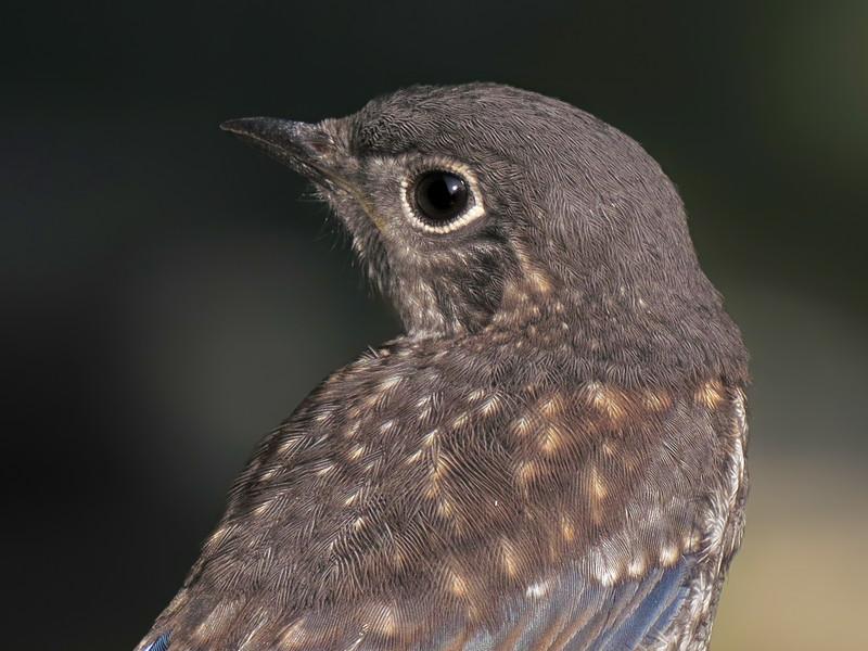 sx50_bluebird_fledgling_portrait_358.jpg