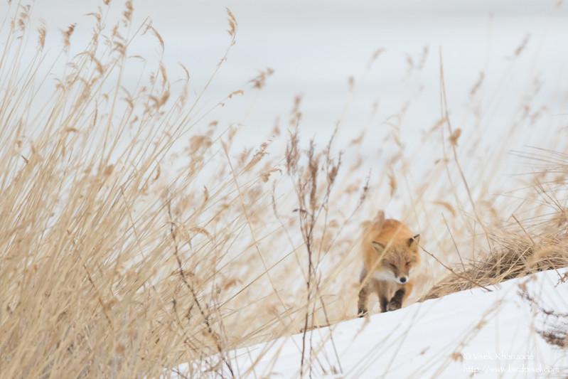 Japanese Red Fox - Hokkaido, Japan