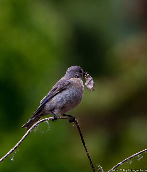 Bluebirs Nesting-1087.jpg