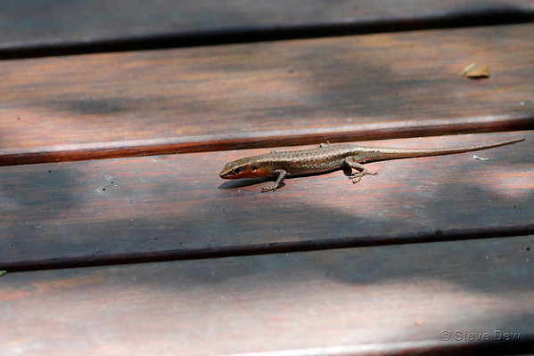 Southern Red-throated Rainbow-skink