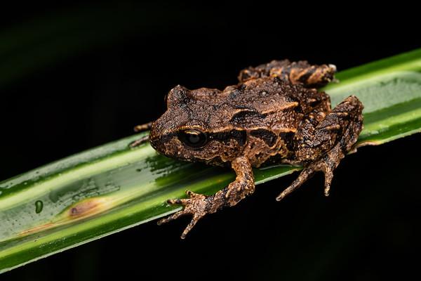 Leiopelma archeyi - Archey's frog