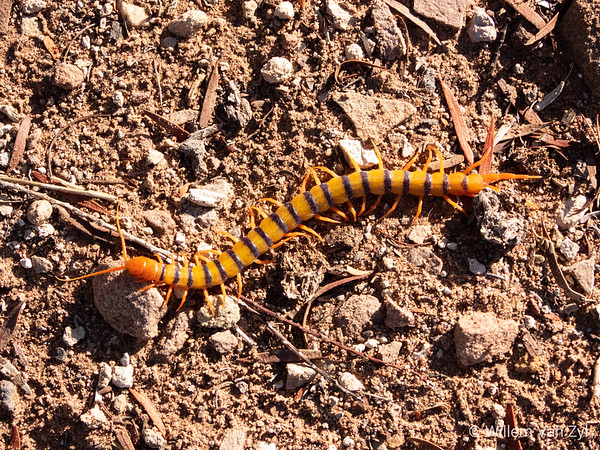 Red-Headed Centipede (Scolopendra morsitans)