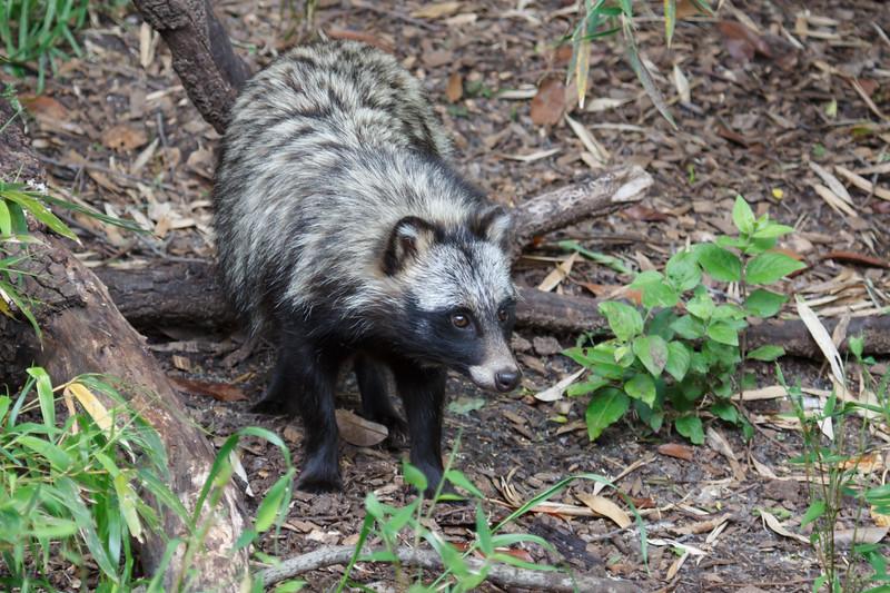 Tanuki (Raccoon dog)