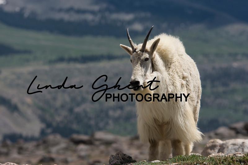Mount Evans Mountain Goats #7