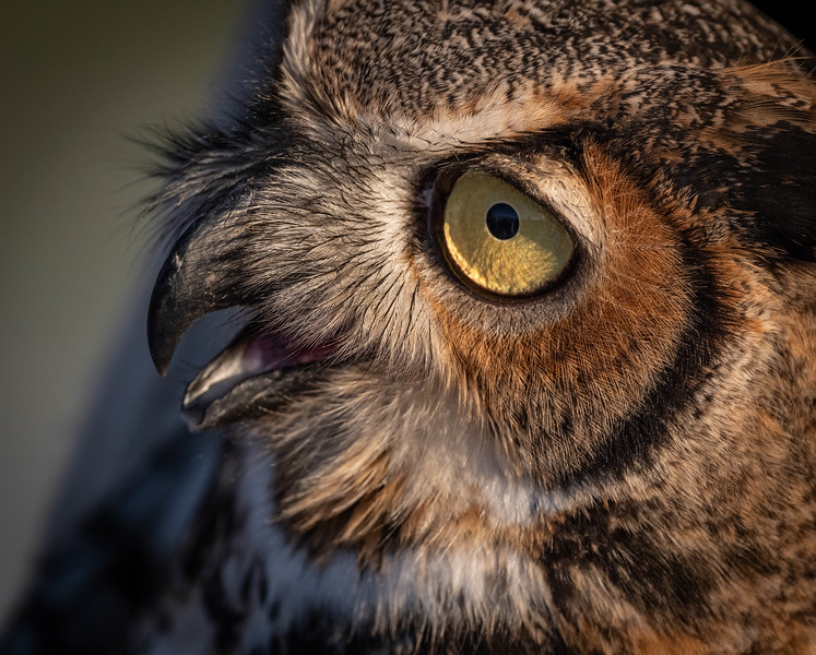 Great Horned Owl (female) close up