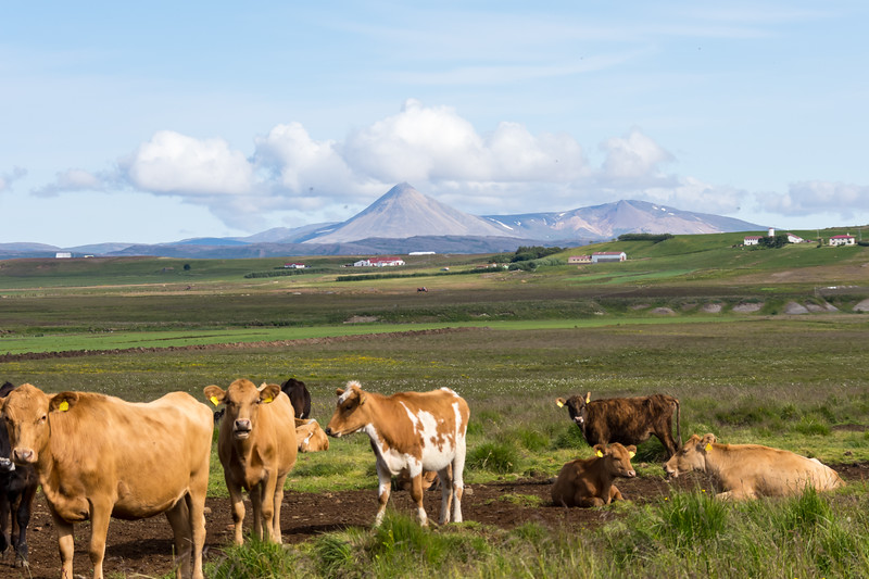 Cattle in Iceland with Vulcano in the background, Iceland