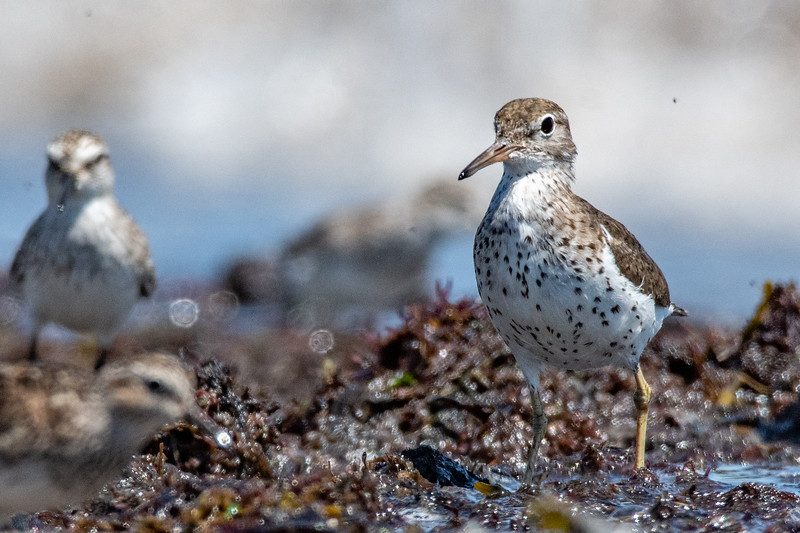 Spotted Sandpiper with Semipalmated Sandpiper